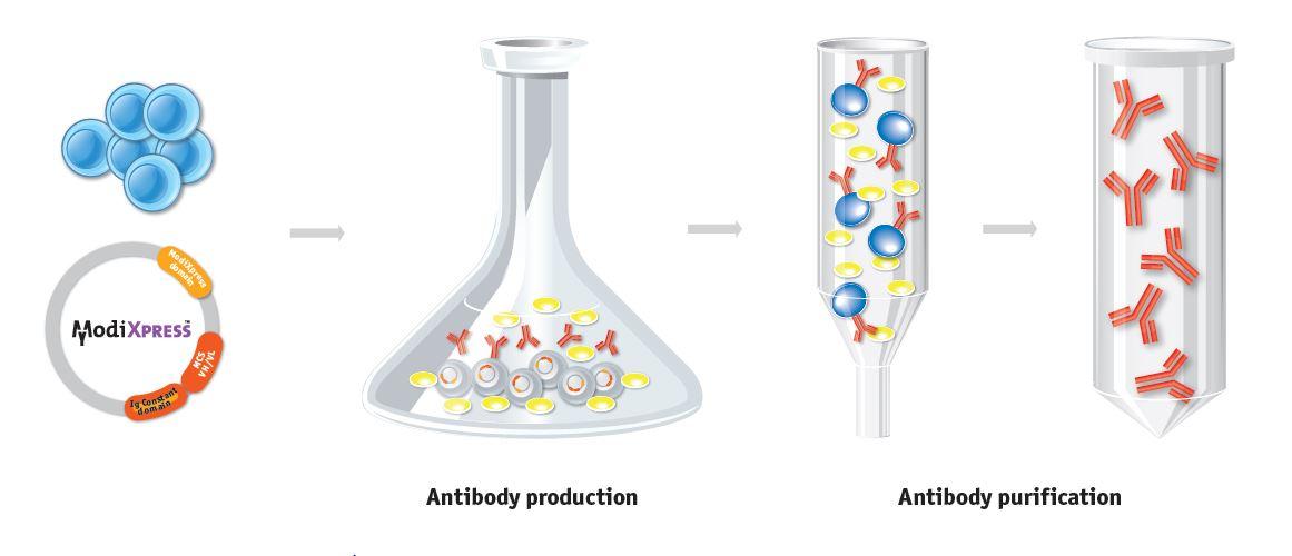 antibody production説明