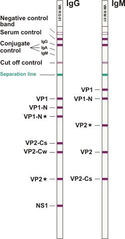 Parvovirus B31 ViraStripe IgG IgM en
